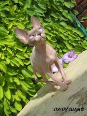 Канадские сфинкс котята