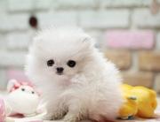 Продаются щенки миниатюрного шпица
