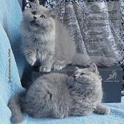 Британские длинношерстные голубые котята.