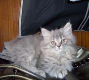 британских котят рождены 6 04 к еде и туалету приучены