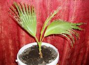 Продаются египетские пальмы